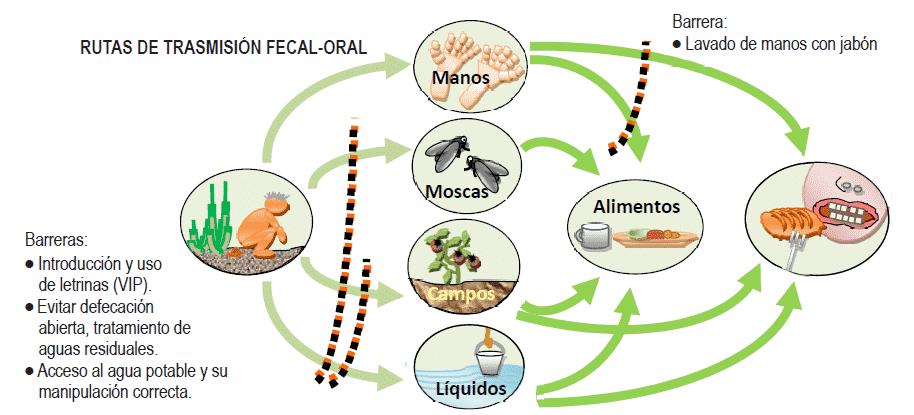 Фекально-оральный путь передачи при гепатите А
