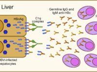 Антитела к гепатиту С: что это такое, когда появляются, остаются ли после лечения?