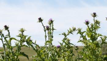Растительные гепатопротекторы: расторопша, артишок, цикорий, семена тыквы, чертоплох