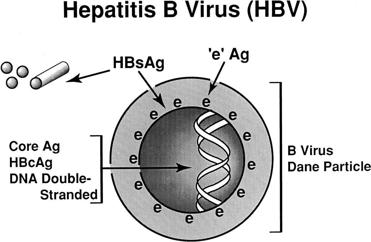 Строение HBV вируса